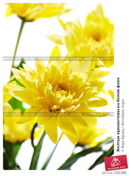 Желтые хризантемы на белом фоне, фото № 250886, снято 9 апреля 2008 г. (c) Вера Франц / Фотобанк Лори