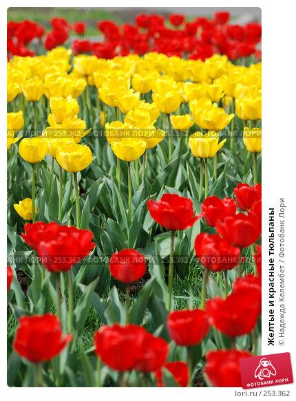 Желтые и красные тюльпаны, фото № 253362, снято 11 мая 2007 г. (c) Надежда Келембет / Фотобанк Лори