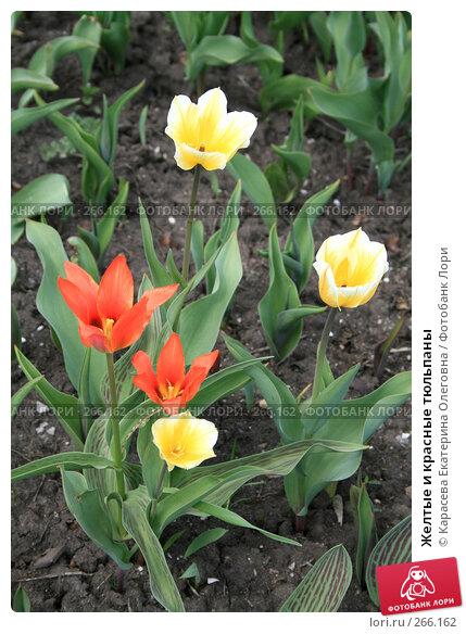 Желтые и красные тюльпаны, фото № 266162, снято 27 апреля 2008 г. (c) Карасева Екатерина Олеговна / Фотобанк Лори