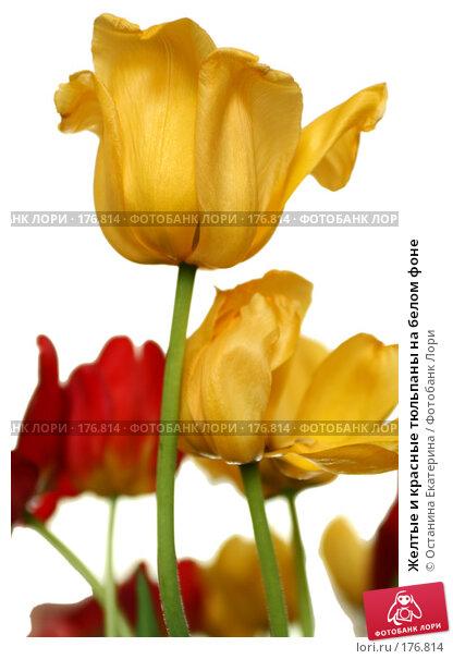 Желтые и красные тюльпаны на белом фоне, фото № 176814, снято 23 мая 2007 г. (c) Останина Екатерина / Фотобанк Лори