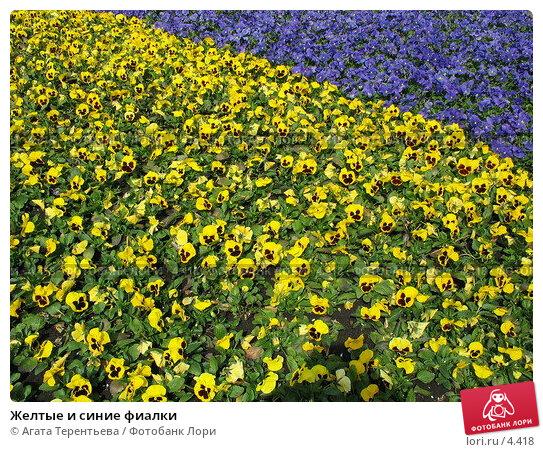 Желтые и синие фиалки, фото № 4418, снято 21 мая 2006 г. (c) Агата Терентьева / Фотобанк Лори