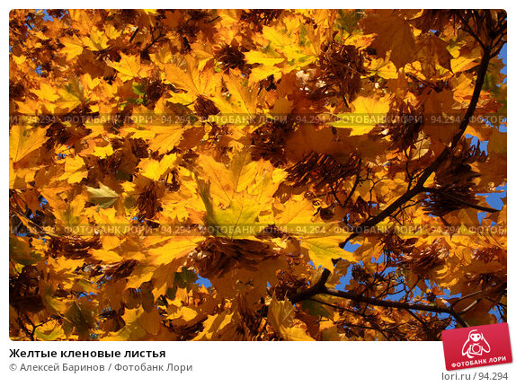 Желтые кленовые листья, фото № 94294, снято 27 сентября 2007 г. (c) Алексей Баринов / Фотобанк Лори
