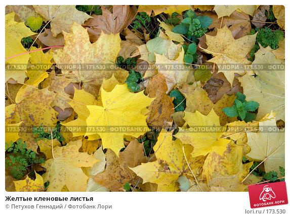Желтые кленовые листья, фото № 173530, снято 27 октября 2007 г. (c) Петухов Геннадий / Фотобанк Лори