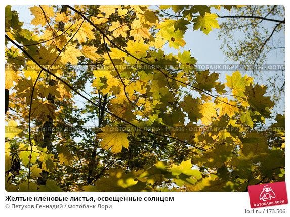 Желтые кленовые листья, освещенные солнцем, фото № 173506, снято 22 сентября 2007 г. (c) Петухов Геннадий / Фотобанк Лори