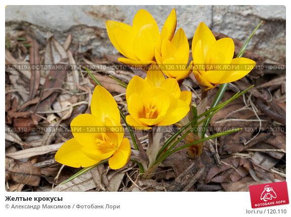 Желтые крокусы, фото № 120110, снято 11 апреля 2006 г. (c) Александр Максимов / Фотобанк Лори