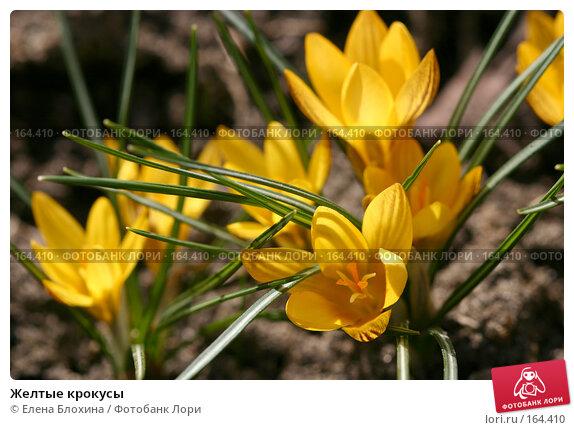 Желтые крокусы, фото № 164410, снято 27 марта 2007 г. (c) Елена Блохина / Фотобанк Лори