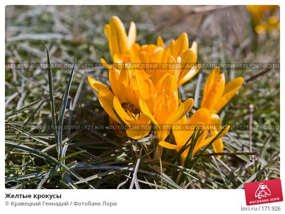 Желтые крокусы, фото № 171926, снято 8 апреля 2005 г. (c) Кравецкий Геннадий / Фотобанк Лори