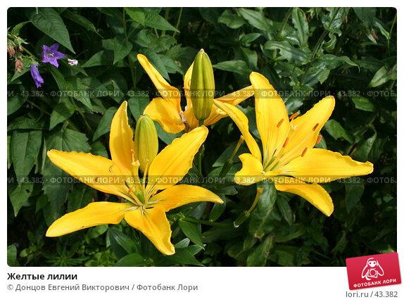 Купить «Желтые лилии», фото № 43382, снято 23 июля 2006 г. (c) Донцов Евгений Викторович / Фотобанк Лори