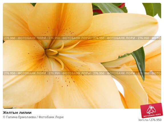 Желтые лилии, фото № 276950, снято 19 апреля 2008 г. (c) Галина Ермолаева / Фотобанк Лори