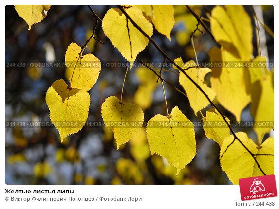Желтые листья липы, фото № 244438, снято 13 ноября 2007 г. (c) Виктор Филиппович Погонцев / Фотобанк Лори