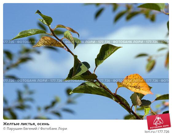 Купить «Желтые листья, осень», фото № 177726, снято 23 ноября 2017 г. (c) Парушин Евгений / Фотобанк Лори
