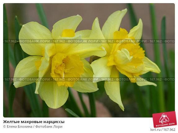Желтые махровые нарциссы, фото № 167962, снято 28 апреля 2007 г. (c) Елена Блохина / Фотобанк Лори