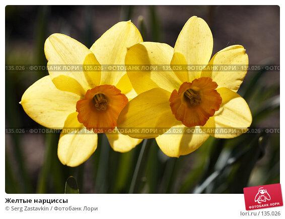 Желтые нарциссы, фото № 135026, снято 31 мая 2006 г. (c) Serg Zastavkin / Фотобанк Лори