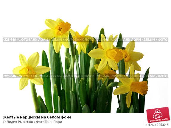 Желтые нарциссы на белом фоне, фото № 225646, снято 14 марта 2008 г. (c) Лидия Рыженко / Фотобанк Лори