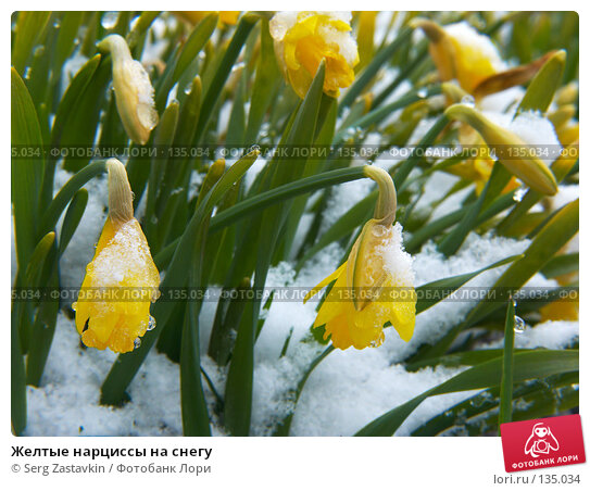Желтые нарциссы на снегу, фото № 135034, снято 2 мая 2006 г. (c) Serg Zastavkin / Фотобанк Лори