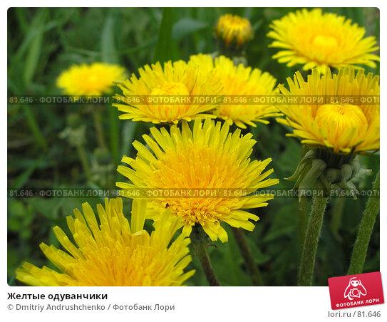 Желтые одуванчики, фото № 81646, снято 30 апреля 2007 г. (c) Dmitriy Andrushchenko / Фотобанк Лори