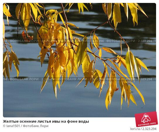 Купить «Желтые осенние листья ивы на фоне воды», эксклюзивное фото № 2323294, снято 8 октября 2010 г. (c) lana1501 / Фотобанк Лори