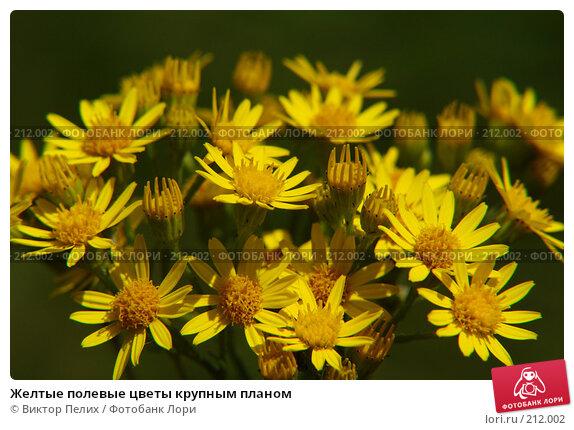 Купить «Желтые полевые цветы крупным планом», фото № 212002, снято 16 января 2018 г. (c) Виктор Пелих / Фотобанк Лори