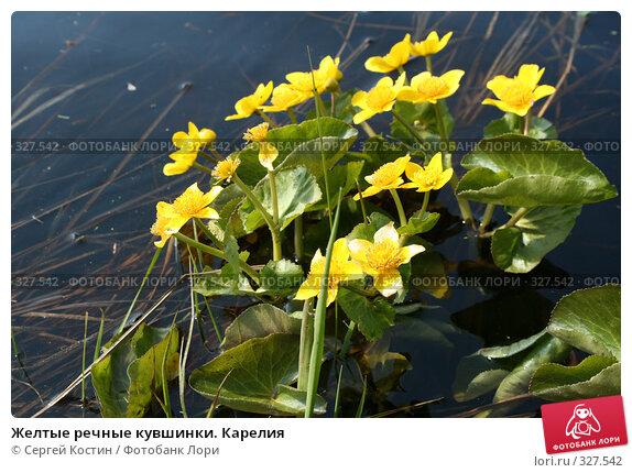 Желтые речные кувшинки. Карелия, фото № 327542, снято 24 мая 2008 г. (c) Сергей Костин / Фотобанк Лори
