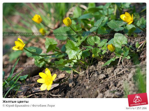 Желтые цветы, фото № 257266, снято 11 апреля 2008 г. (c) Юрий Брыкайло / Фотобанк Лори