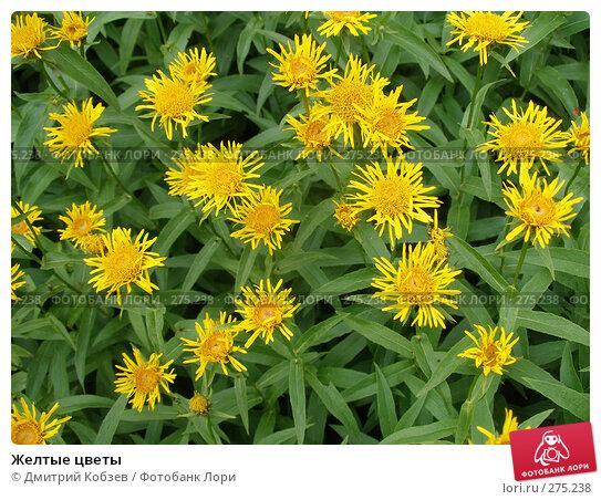 Купить «Желтые цветы», фото № 275238, снято 8 июля 2007 г. (c) Дмитрий Кобзев / Фотобанк Лори