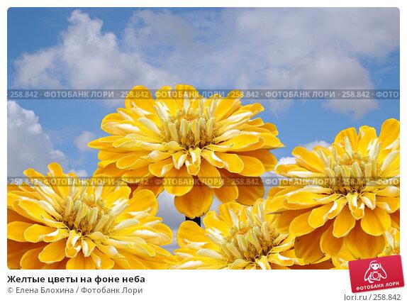 Желтые цветы на фоне неба, фото № 258842, снято 24 апреля 2007 г. (c) Елена Блохина / Фотобанк Лори