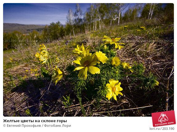 Желтые цветы на склоне горы, фото № 203190, снято 19 мая 2007 г. (c) Евгений Прокофьев / Фотобанк Лори