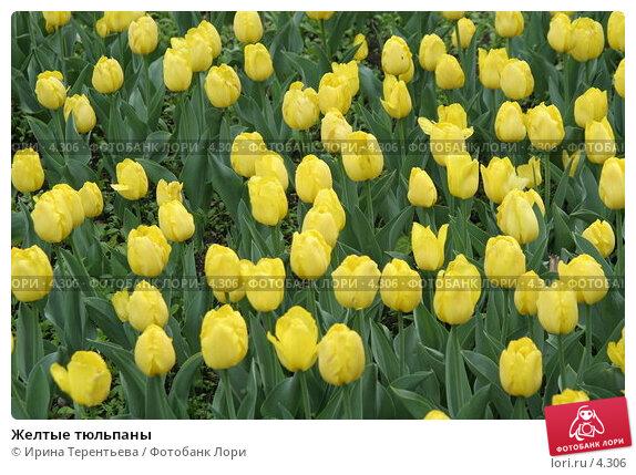 Желтые тюльпаны, эксклюзивное фото № 4306, снято 29 мая 2006 г. (c) Ирина Терентьева / Фотобанк Лори