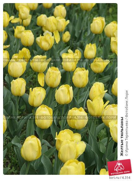 Желтые тюльпаны, эксклюзивное фото № 4314, снято 29 мая 2006 г. (c) Ирина Терентьева / Фотобанк Лори