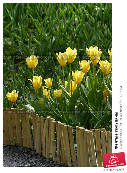 Желтые тюльпаны, фото № 49998, снято 7 мая 2006 г. (c) Морозова Татьяна / Фотобанк Лори