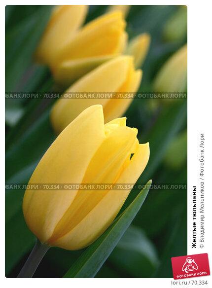 Желтые тюльпаны, фото № 70334, снято 4 марта 2005 г. (c) Владимир Мельников / Фотобанк Лори