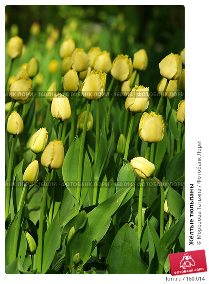 Жёлтые тюльпаны, фото № 160014, снято 7 мая 2006 г. (c) Морозова Татьяна / Фотобанк Лори