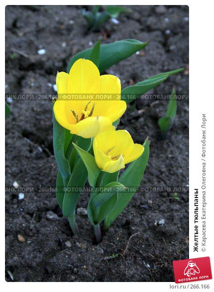 Купить «Желтые тюльпаны», фото № 266166, снято 27 апреля 2008 г. (c) Карасева Екатерина Олеговна / Фотобанк Лори