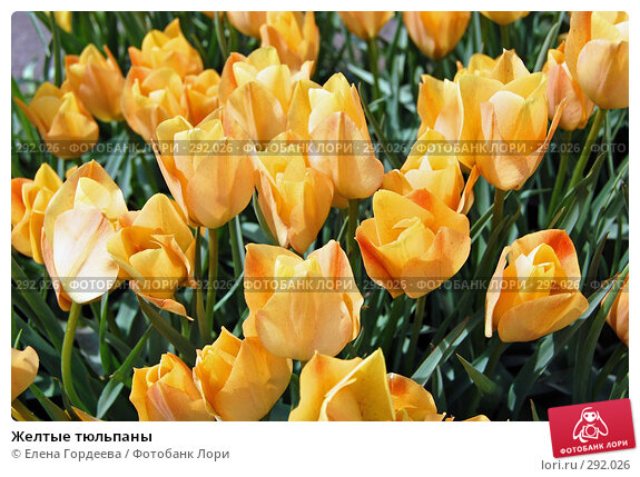 Желтые тюльпаны, фото № 292026, снято 11 мая 2008 г. (c) Елена Гордеева / Фотобанк Лори