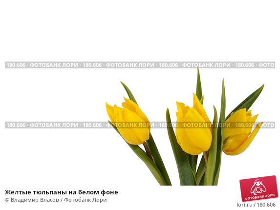Желтые тюльпаны на белом фоне, фото № 180606, снято 19 января 2008 г. (c) Владимир Власов / Фотобанк Лори