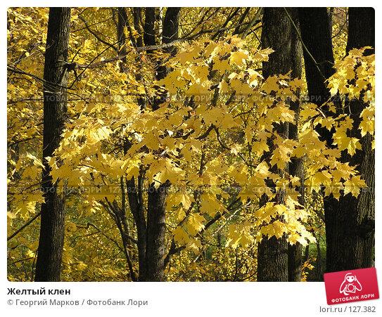 Желтый клен, фото № 127382, снято 10 октября 2004 г. (c) Георгий Марков / Фотобанк Лори