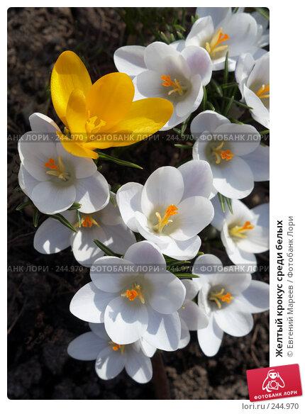 Желтый крокус среди белых, фото № 244970, снято 6 апреля 2008 г. (c) Евгений Мареев / Фотобанк Лори