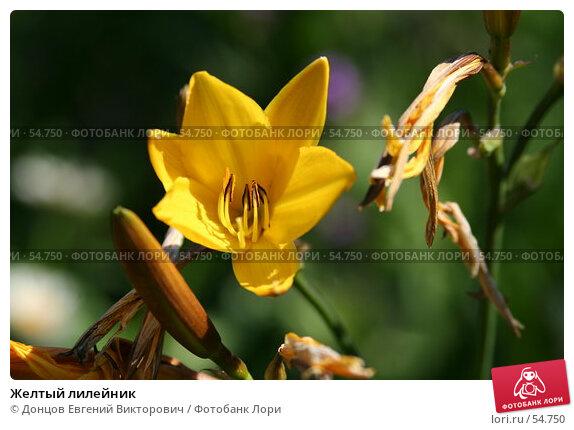 Желтый лилейник, фото № 54750, снято 14 июня 2007 г. (c) Донцов Евгений Викторович / Фотобанк Лори
