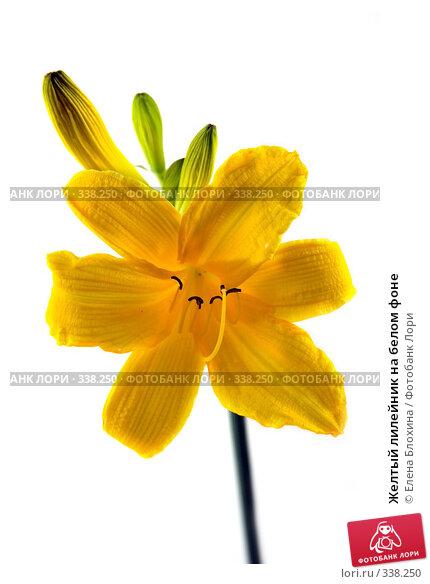 Купить «Желтый лилейник на белом фоне», фото № 338250, снято 15 июня 2008 г. (c) Елена Блохина / Фотобанк Лори