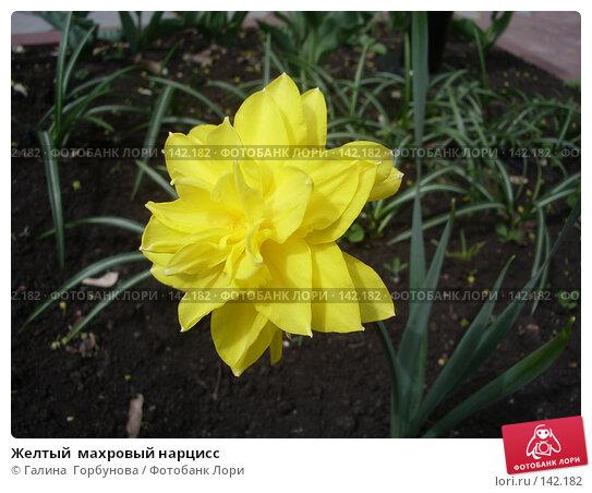 Купить «Желтый  махровый нарцисс», фото № 142182, снято 27 апреля 2006 г. (c) Галина  Горбунова / Фотобанк Лори
