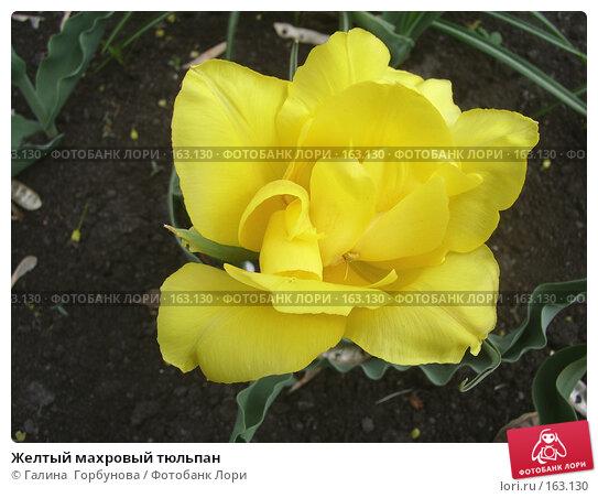 Желтый махровый тюльпан, фото № 163130, снято 27 апреля 2006 г. (c) Галина  Горбунова / Фотобанк Лори