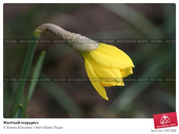 Желтый нарцисс, фото № 167950, снято 20 апреля 2007 г. (c) Елена Блохина / Фотобанк Лори