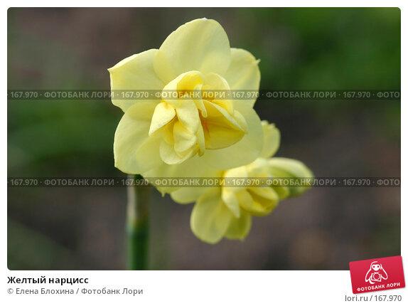Желтый нарцисс, фото № 167970, снято 14 мая 2007 г. (c) Елена Блохина / Фотобанк Лори