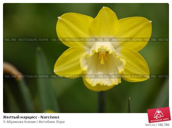 Купить «Желтый нарцисс - Narcissus», фото № 186786, снято 8 мая 2006 г. (c) Абрамова Ксения / Фотобанк Лори