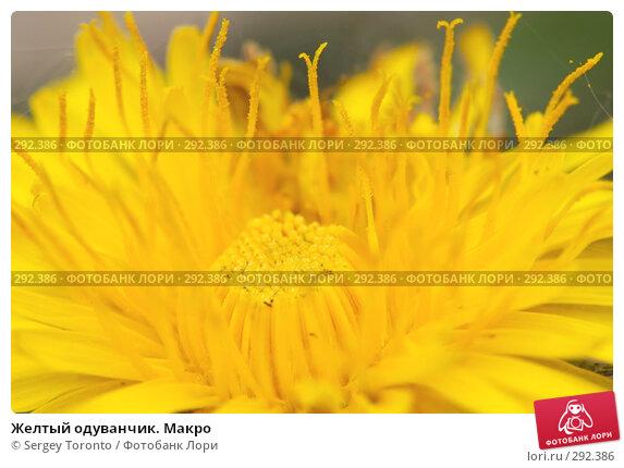 Желтый одуванчик. Макро, фото № 292386, снято 10 мая 2008 г. (c) Sergey Toronto / Фотобанк Лори