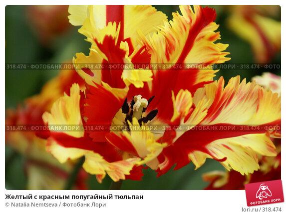 Желтый с красным попугайный тюльпан, эксклюзивное фото № 318474, снято 8 апреля 2008 г. (c) Natalia Nemtseva / Фотобанк Лори
