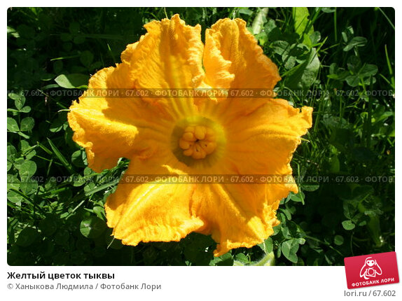 Желтый цветок тыквы, фото № 67602, снято 28 июля 2007 г. (c) Ханыкова Людмила / Фотобанк Лори