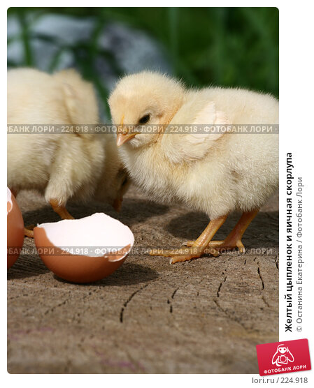 Желтый цыпленок и яичная скорлупа, фото № 224918, снято 26 мая 2007 г. (c) Останина Екатерина / Фотобанк Лори