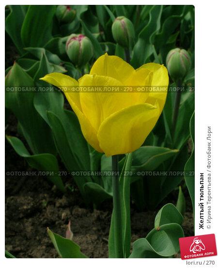 Желтый тюльпан, эксклюзивное фото № 270, снято 11 мая 2004 г. (c) Ирина Терентьева / Фотобанк Лори