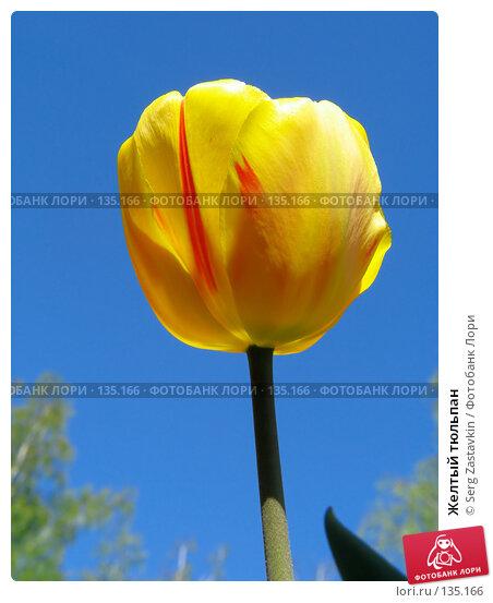 Желтый тюльпан, фото № 135166, снято 20 мая 2005 г. (c) Serg Zastavkin / Фотобанк Лори